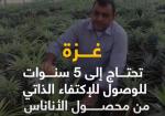 غزة تزرع الأناناس