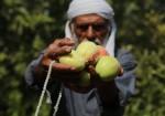 مزارعون يبدأون بقطف التفاح البلدي شمال قطاع غزة