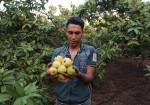 بدء موسم قطف الجوافة في غزة