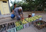 بدء موسم الجوافة في غزة