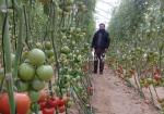 """بندورة ديسمبر لـ""""غزة"""".. و""""الزراعة"""": لمصلحة المواطن"""