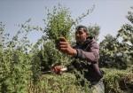 غزة: الذهب الأخضر يقاوم الاحتلال ويحقق اكتفاءً ذاتياً