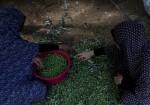 موسم قطف الزيتون في غزة