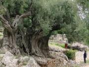 تعرف على أقدم شجرة زيتون في فلسطين