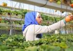 شابة فلسطينية تزرع الفراولة المعلقة