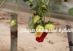 زراعة الفراولة لأول مرة جنوب الخليل