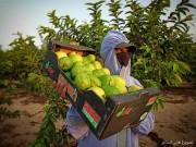 """""""جوافة"""" غزة الحُلوة تتجرّع """"مُرَّ"""" كورونا"""