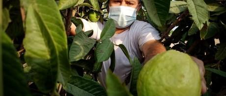 بدء موسم قطف الجوافة في قطاع غزة