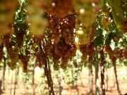 موسم العنب في مدينة الخليل