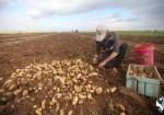 الاحتلال يحول دون تسويق البطاطا خارج غزة ويكبد المزارعين خسائر فادحة